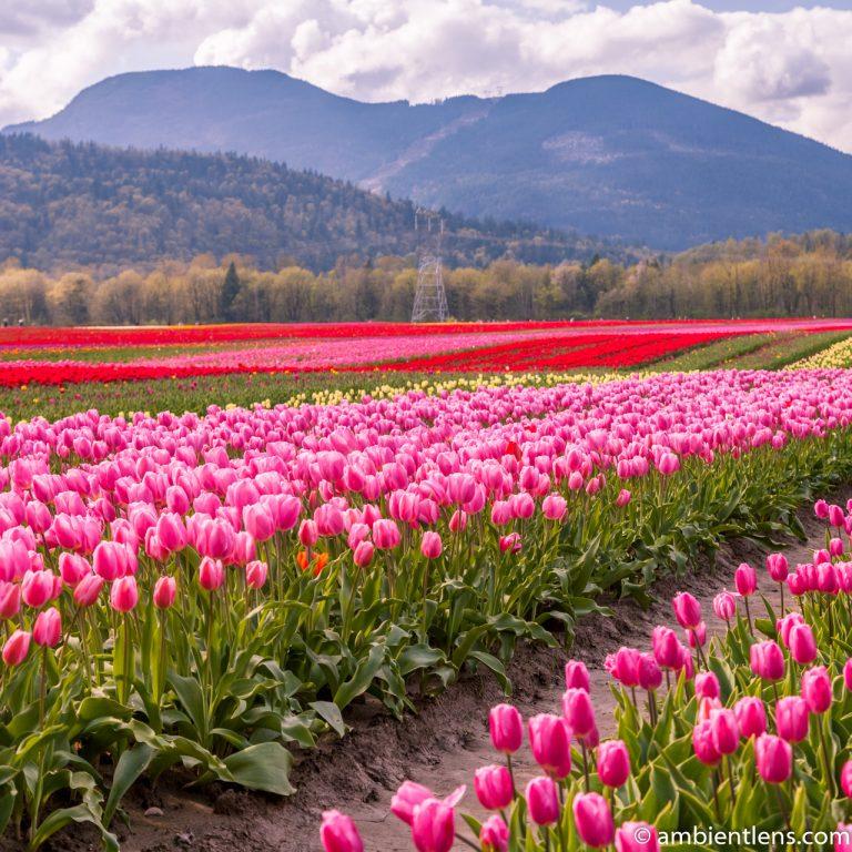 Pink Tulips 1 (SQ)