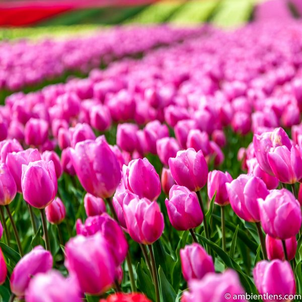 Pink Tulips 2 (SQ)