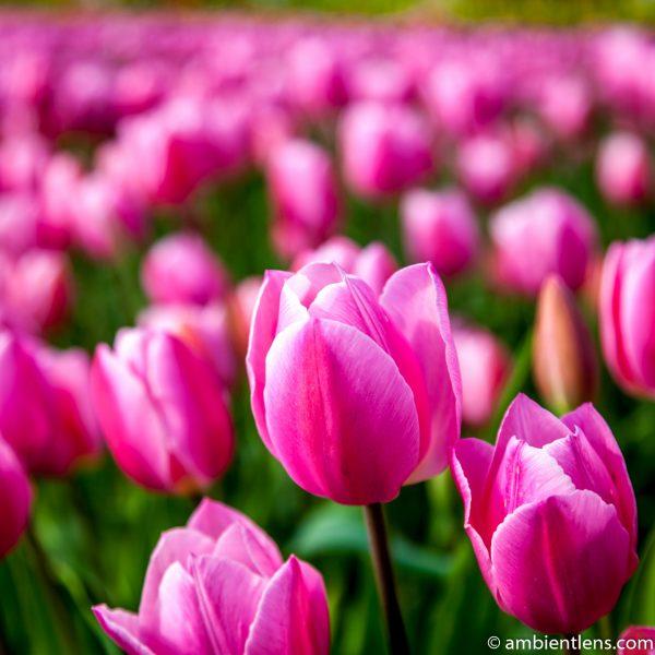 Pink Tulips 3 (SQ)