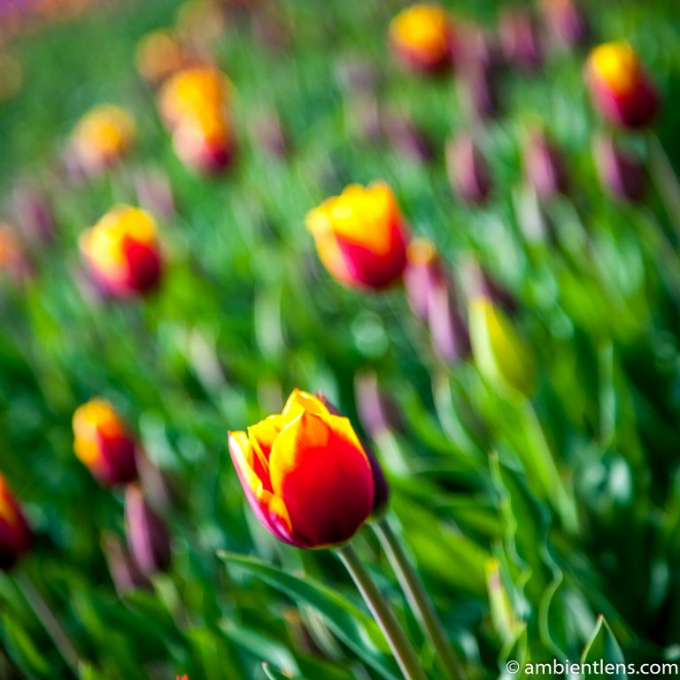 Orange and Yellow Tulips 1 (SQ)