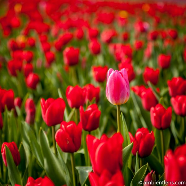Red Tulips 1 (SQ)