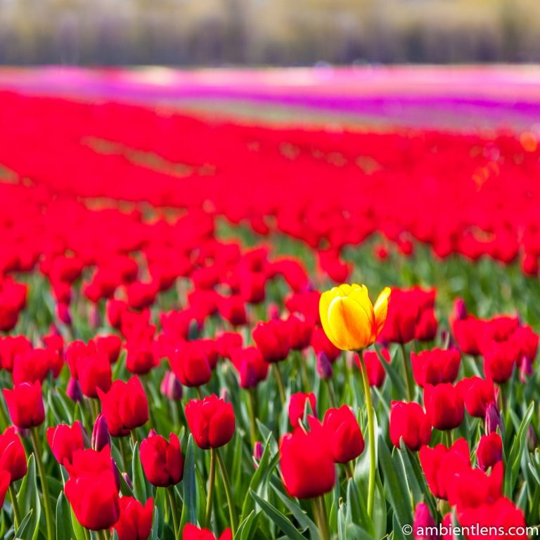Red Tulips 2 (SQ)