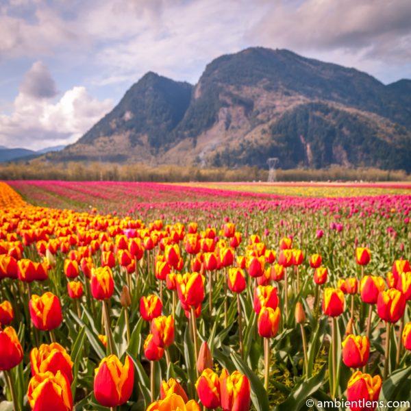 Orange and Yellow Tulips 2 (SQ)