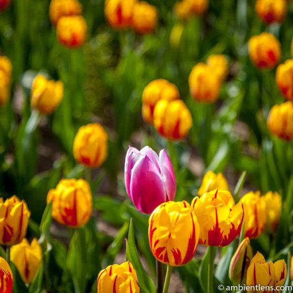 Orange and Yellow Tulips 4 (SQ)