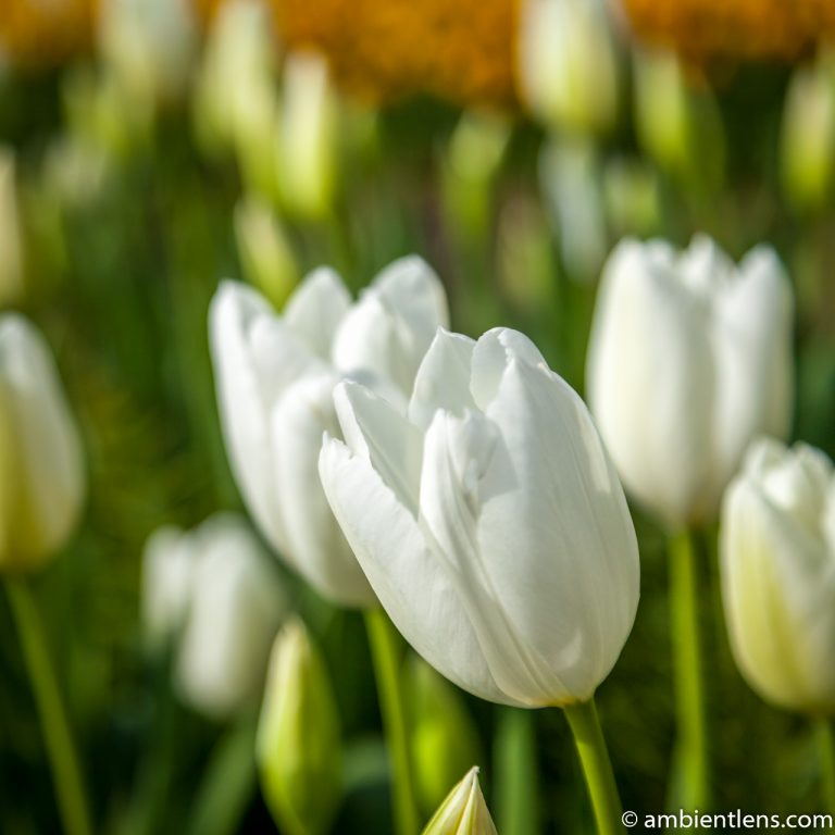 White Tulips 2 (SQ)