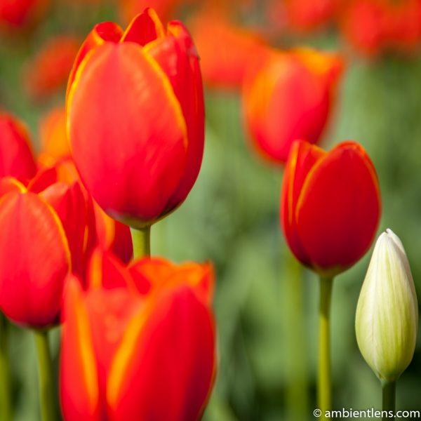 Orange Tulips 6 (SQ)