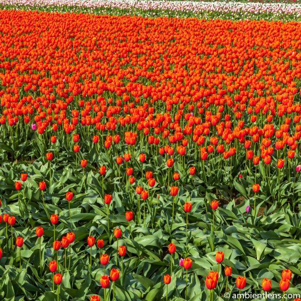 Orange Tulips 8 (SQ)