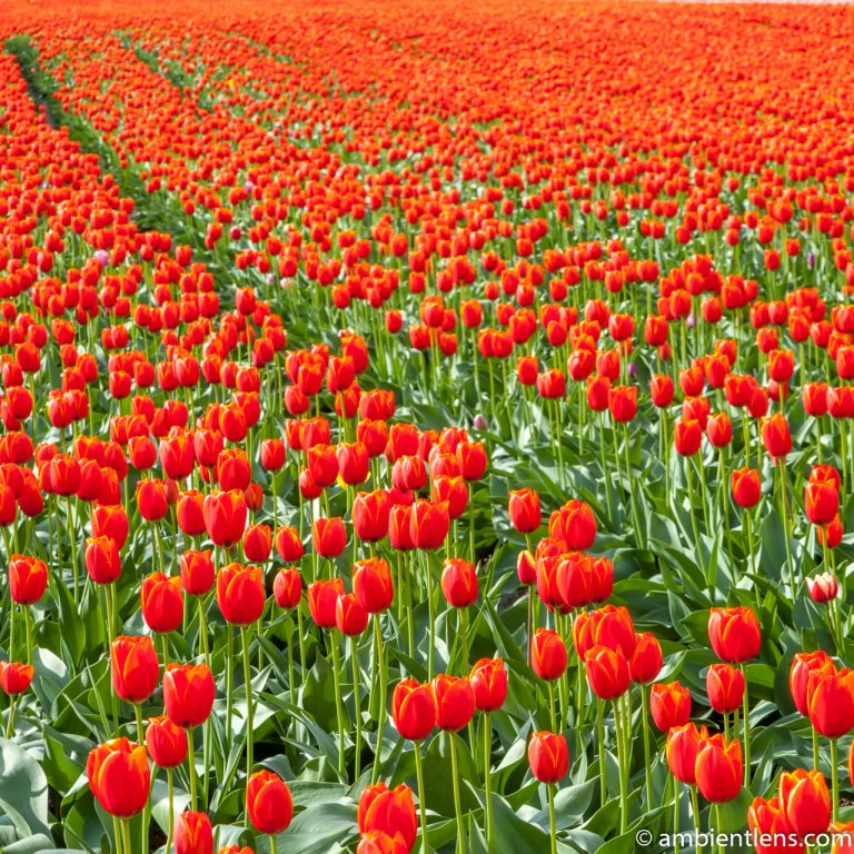 Orange Tulips 10 (SQ)