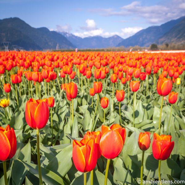 Orange Tulips 11 (SQ)