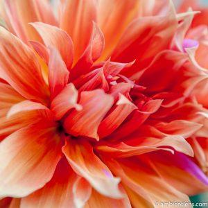 Orange Dahlia 2 (SQ)