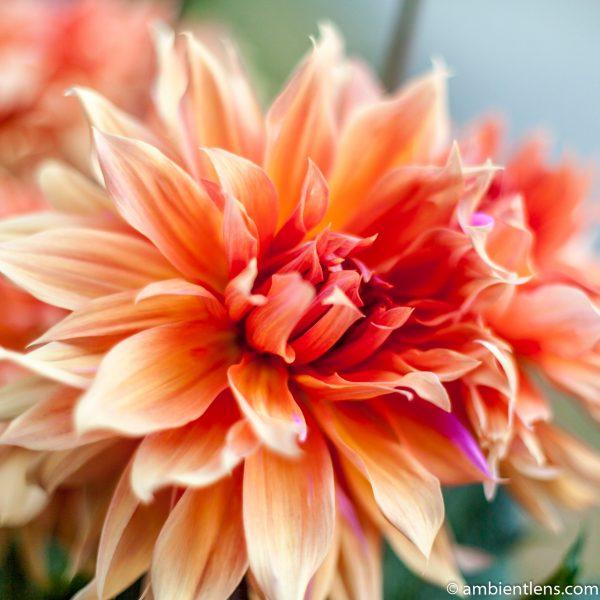 Orange Dahlia 1 (SQ)