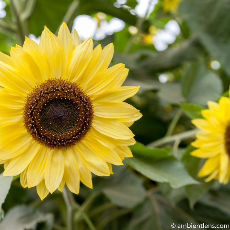 Yellow Sunflower 2 (SQ)