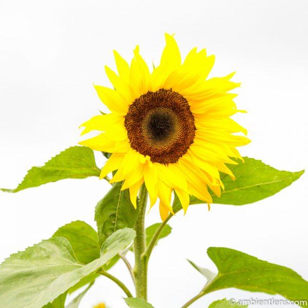 Orange Sunflower 15 (SQ)