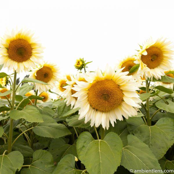 White Sunflowers 1 (SQ)