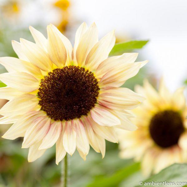 White Sunflower 3 (SQ)
