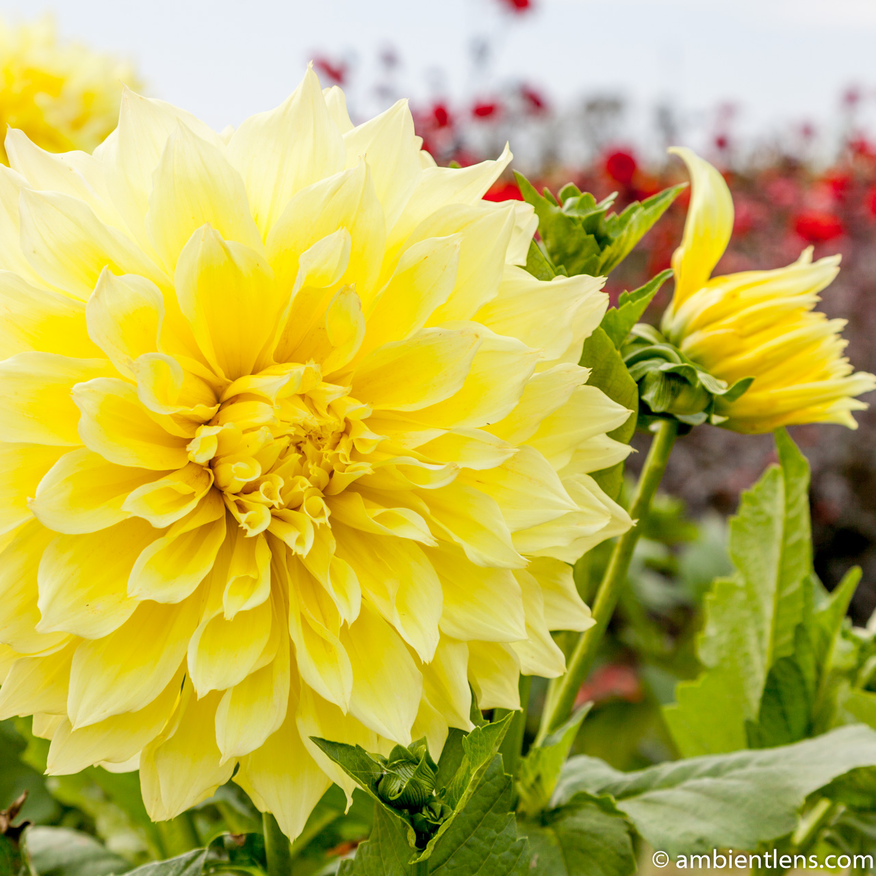 Yellow Dahlia 1 (SQ)