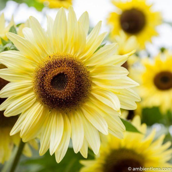 Yellow Sunflowers 1 (SQ)
