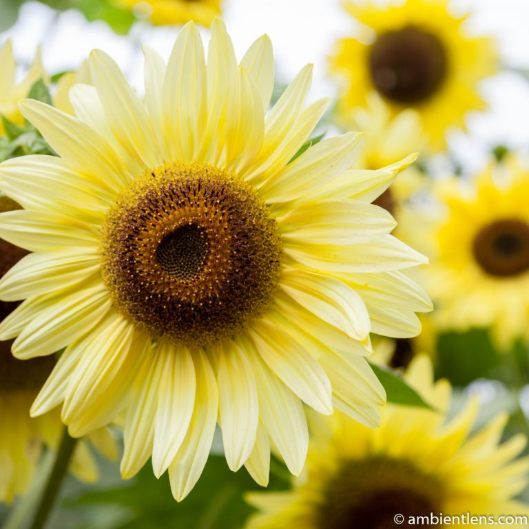 Yellow Sunflowers 1 (SQ)