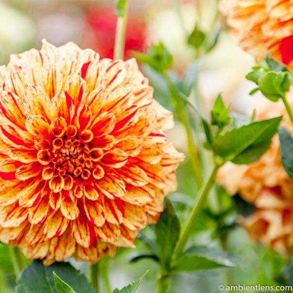 Orange and Red Dahlia 1 (SQ)