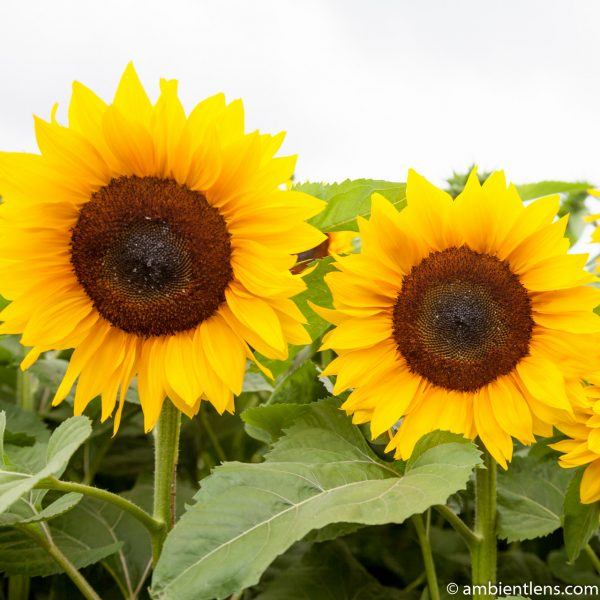 Orange Sunflowers 6 (SQ)