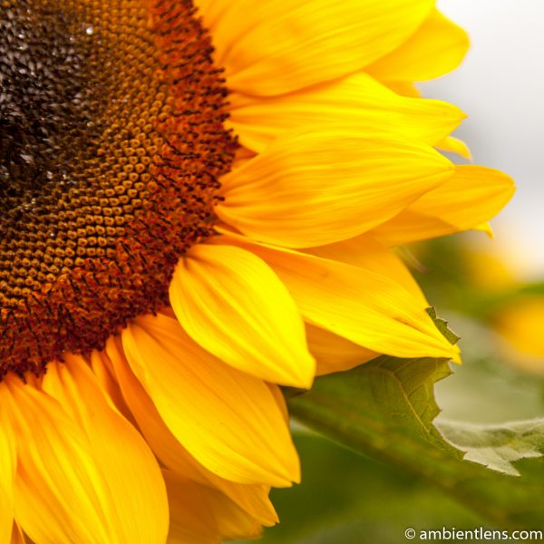 Orange Sunflower 11 (SQ)