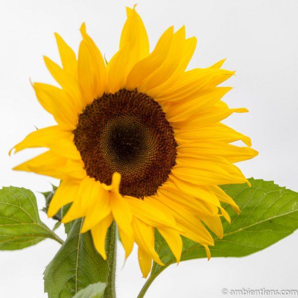 Orange Sunflower 10 (SQ)