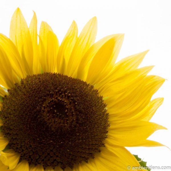 Orange Sunflower 9 (SQ)