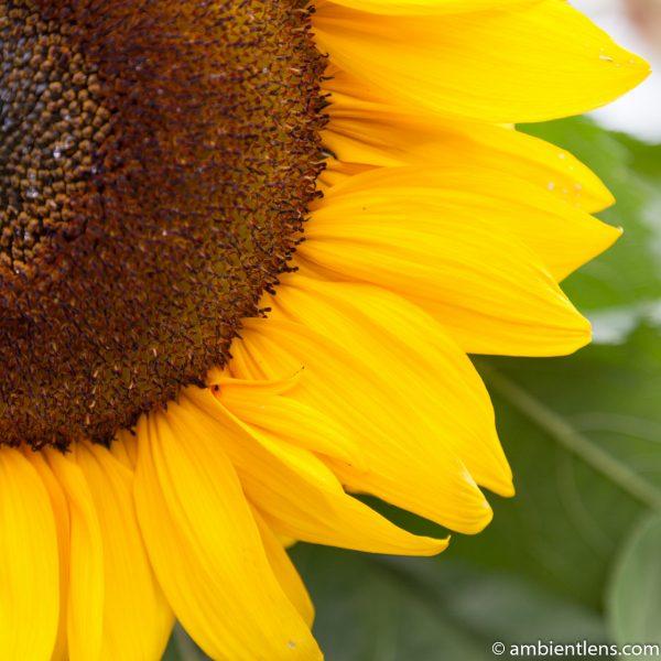 Orange Sunflower 8 (SQ)