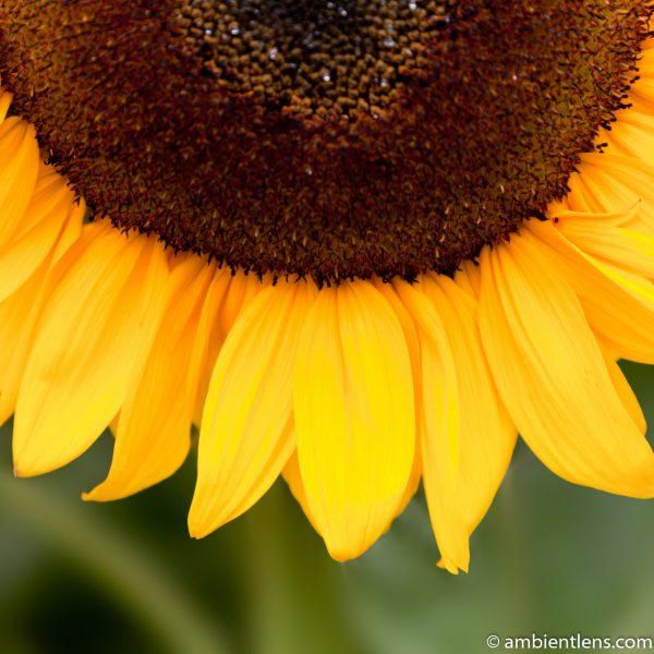 Orange Sunflower 6 (SQ)