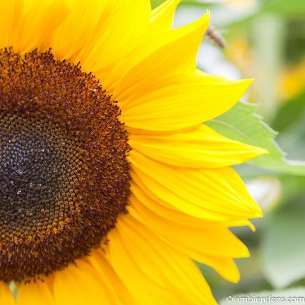Orange Sunflower 5 (SQ)