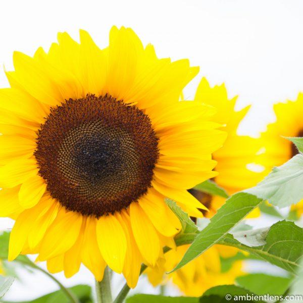 Orange Sunflower 4 (SQ)