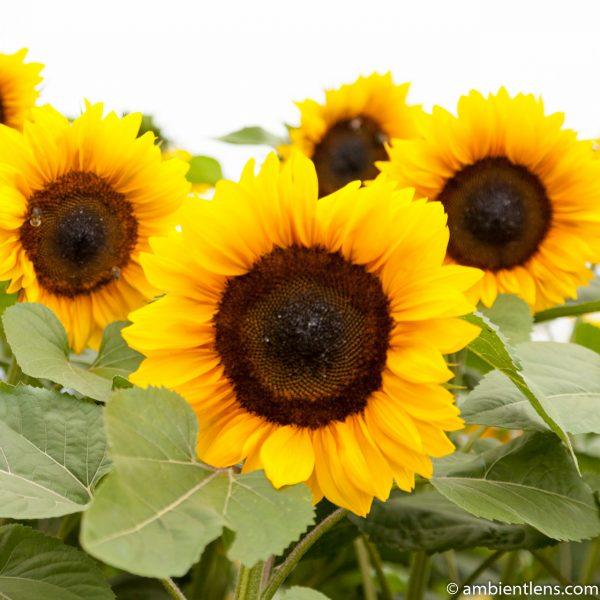 Orange Sunflowers 4 (SQ)