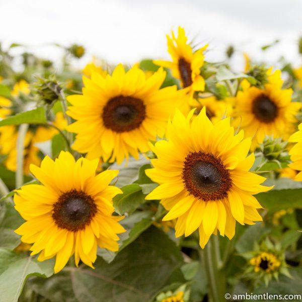 Orange Sunflowers 2 (SQ)