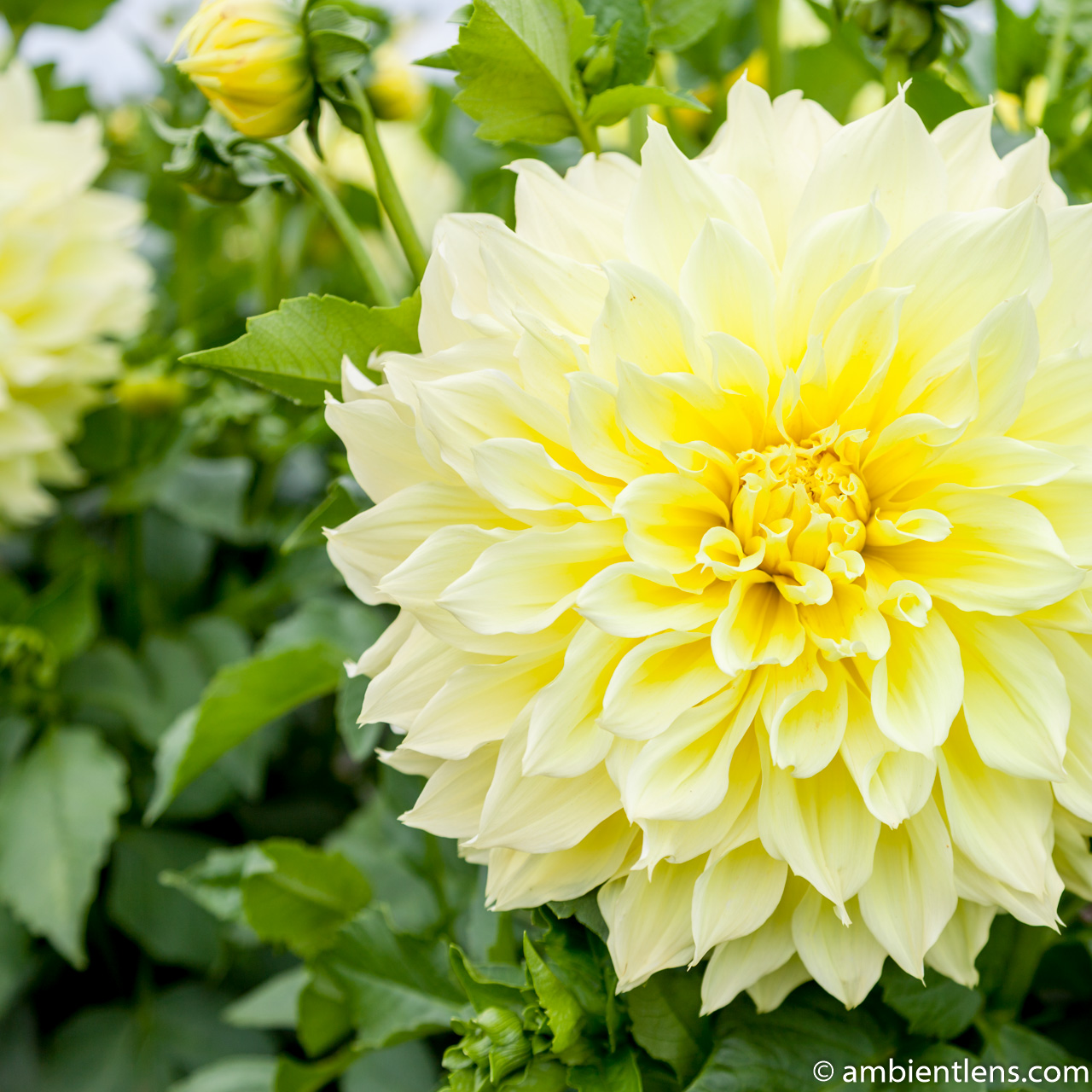 Yellow Dahlia 2 (SQ)