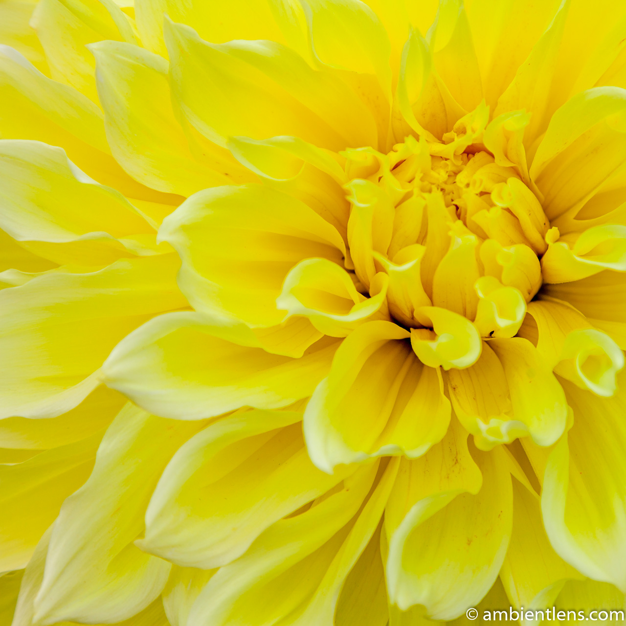 Yellow Dahlia 4 (SQ)