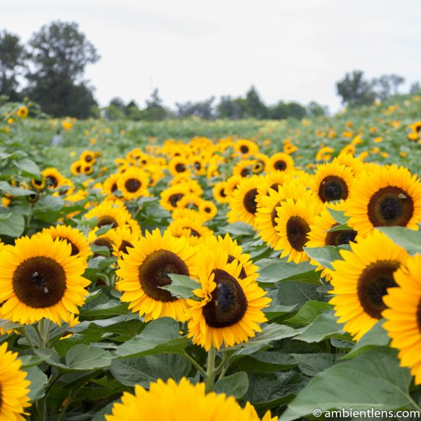 Orange Sunflowers 1 (SQ)