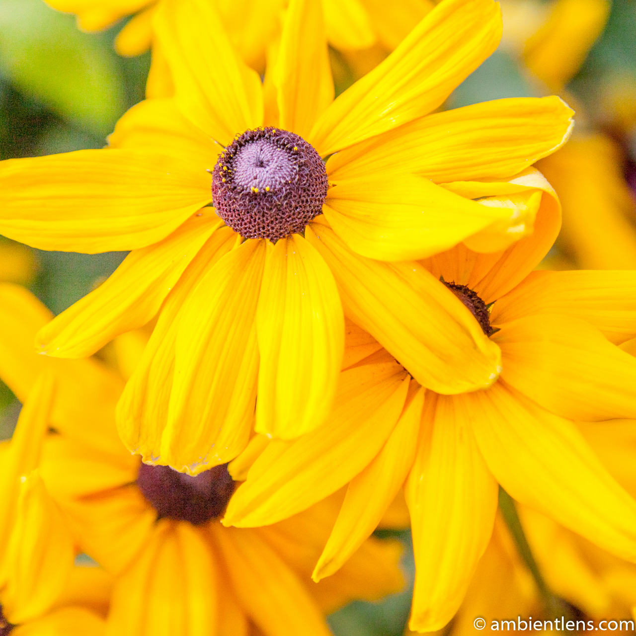 Yellow Daisy 1 (SQ)