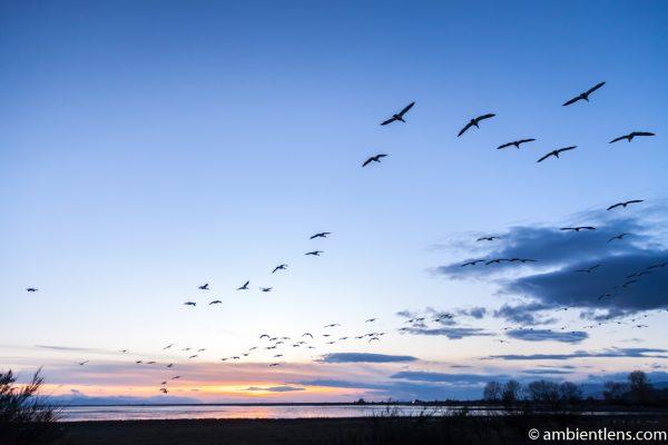 Birds in Flight at Iona Beach 1