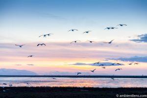 Birds in Flight at Iona Beach 2
