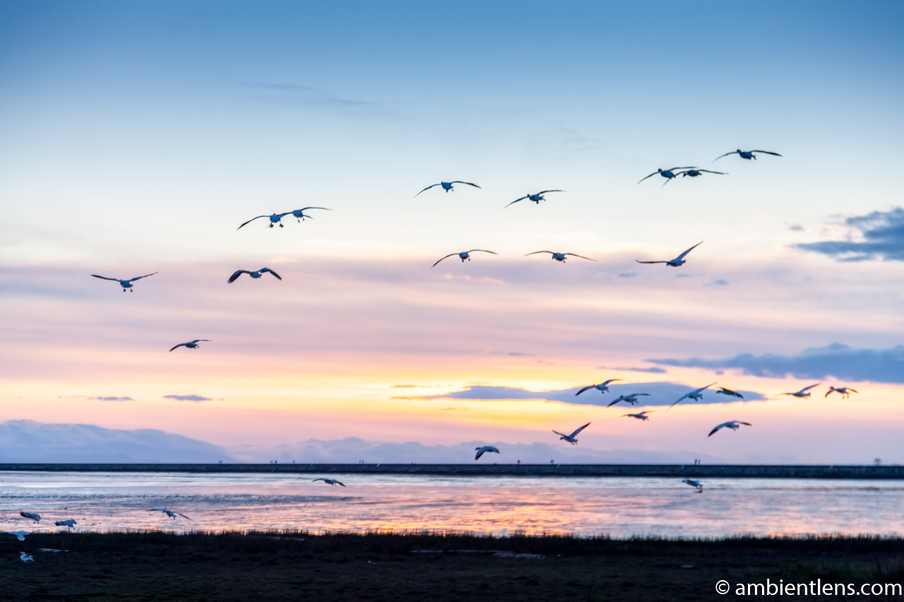 Birds in Flight at Iona Beach 2