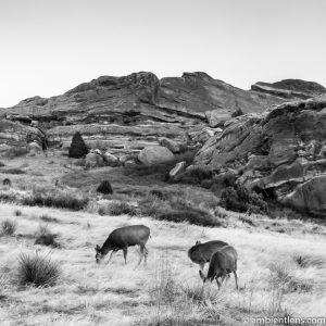 Deer Feeding at Sunset (BW SQ)