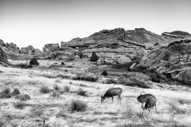 Deer Feeding at Sunset (BW)
