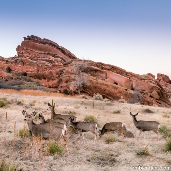 Deer and Red Rocks (SQ)